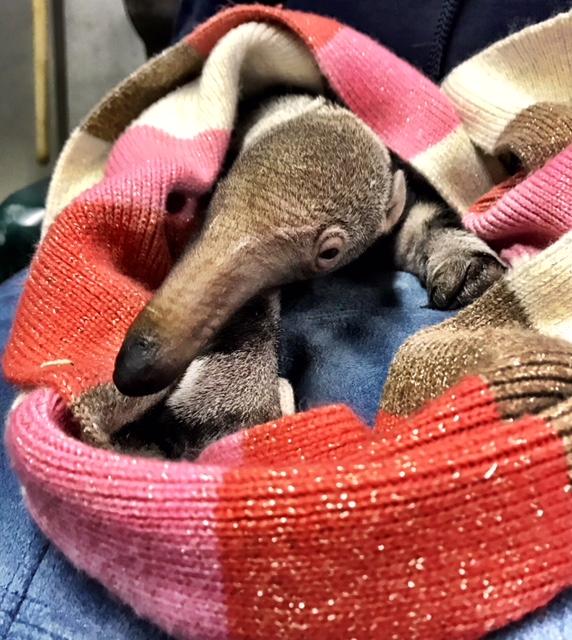 Noel - Giant Anteater Pup - Christmas Day 2017 - Heather Robertson (3)