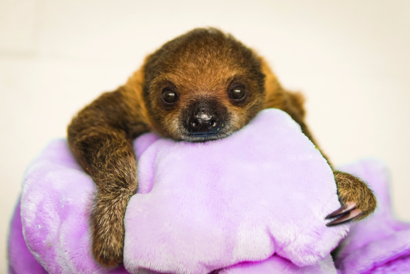 1_National Aviary_Baby Sloth Looks Right at the Camera_Jamie Greene