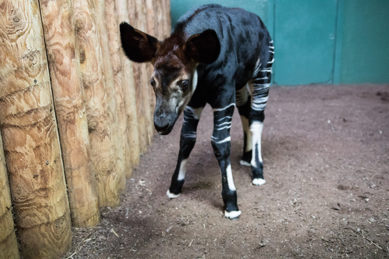 3_Meghan okapi (c) ZSL London Zoo (4)