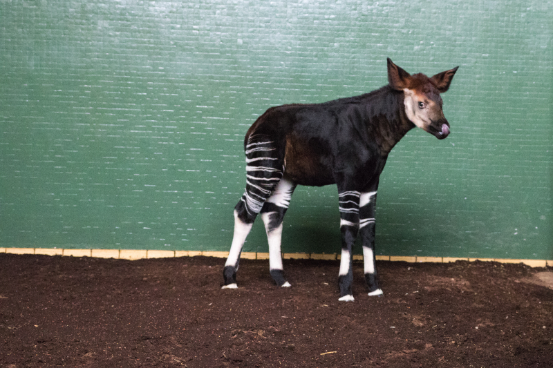 4_Meghan okapi (c) ZSL London Zoo (6)