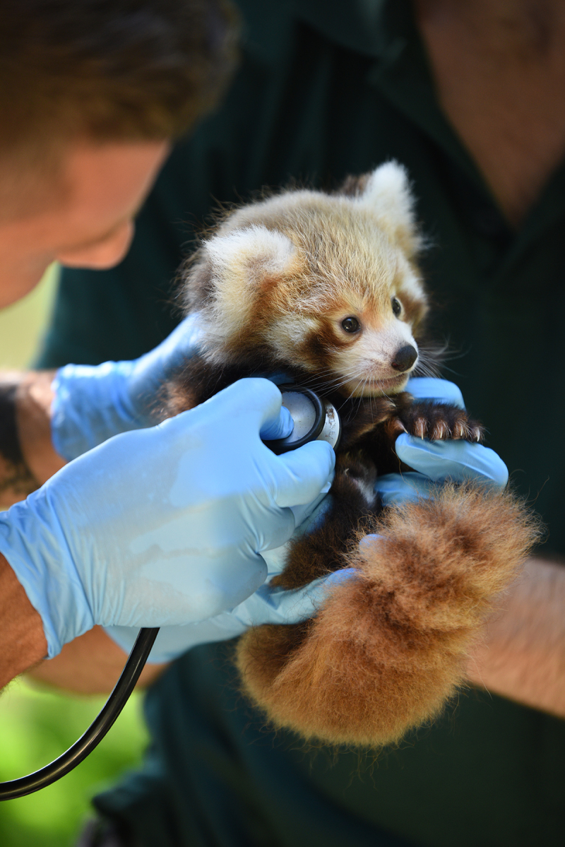 Image result for red panda rescue