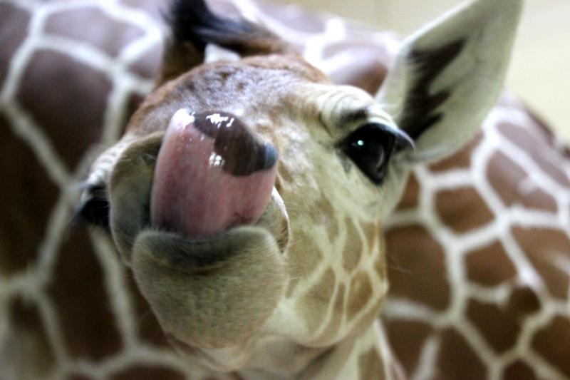 4_Peoria Zoo Giraffe Calf 9 Jan 2018