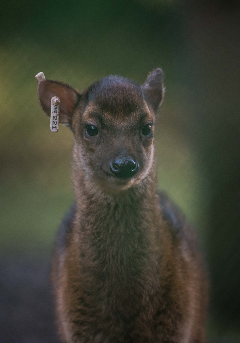1_Adorable rare Philippine spotted deer makes Chester Zoo debut (7)
