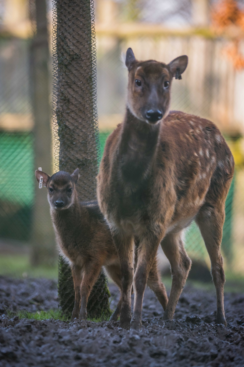 2_Adorable rare Philippine spotted deer makes Chester Zoo debut (9)
