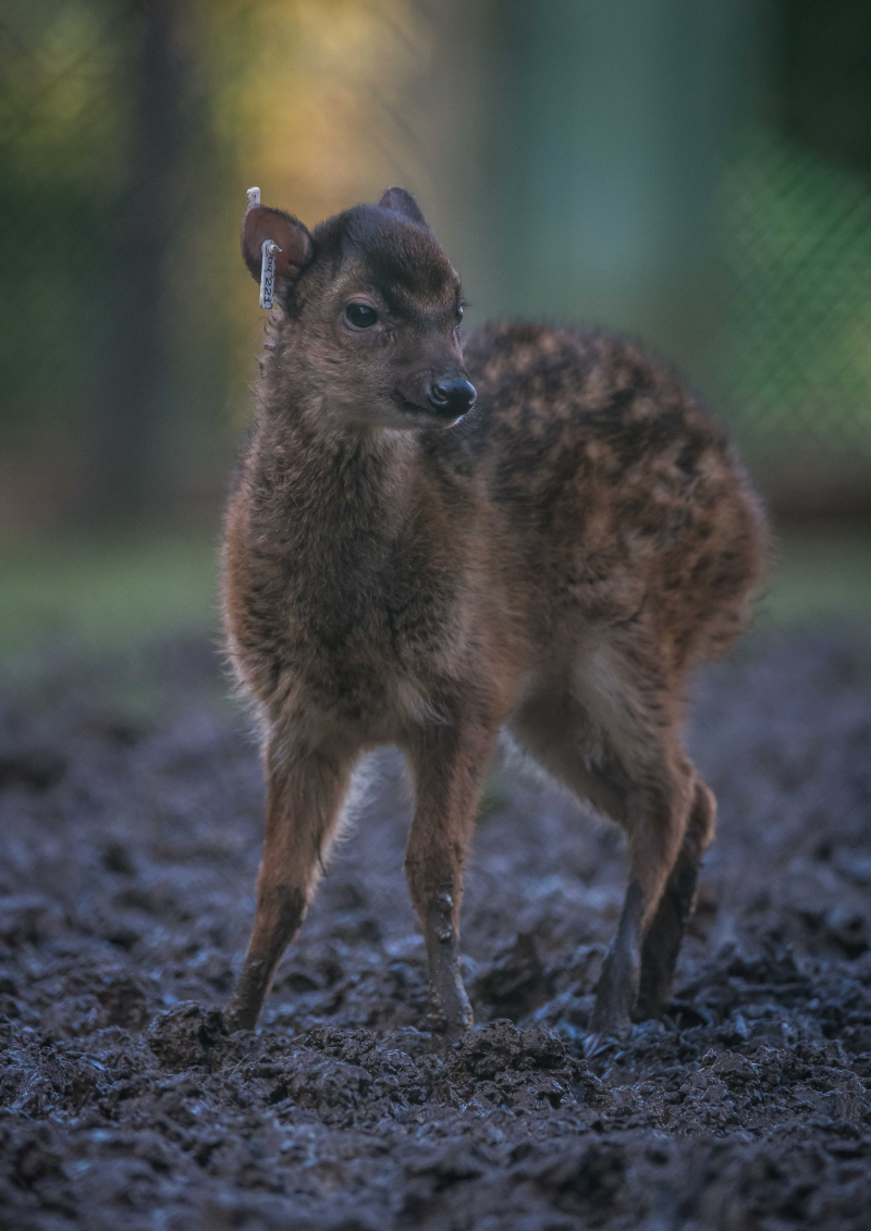 4_Adorable rare Philippine spotted deer makes Chester Zoo debut (2)