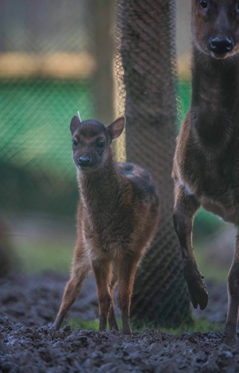 9_Adorable rare Philippine spotted deer makes Chester Zoo debut (12)