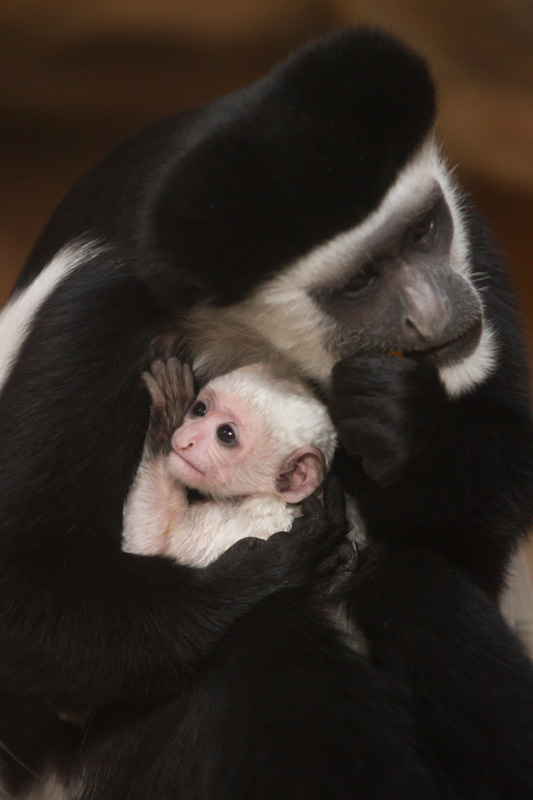 Colobus_baby_2018_2_Credit_Ethan_Riepl_Saint_Louis_Zoo_web