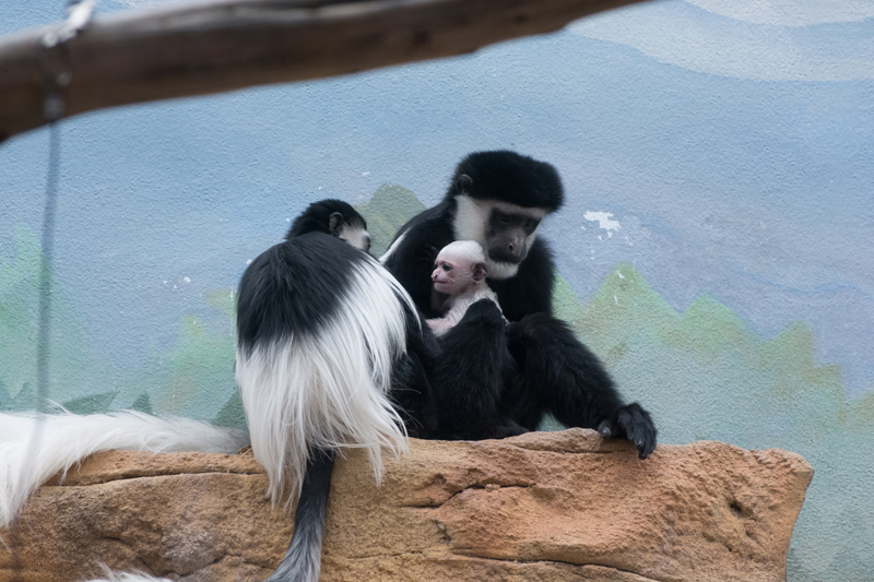 Colobus baby 2018_4_Credit Robin Winkelman Saint Louis Zoo_web2