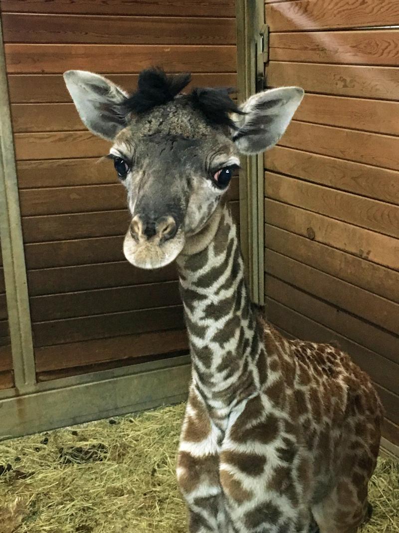 KCZoo Giraffe Calf 3