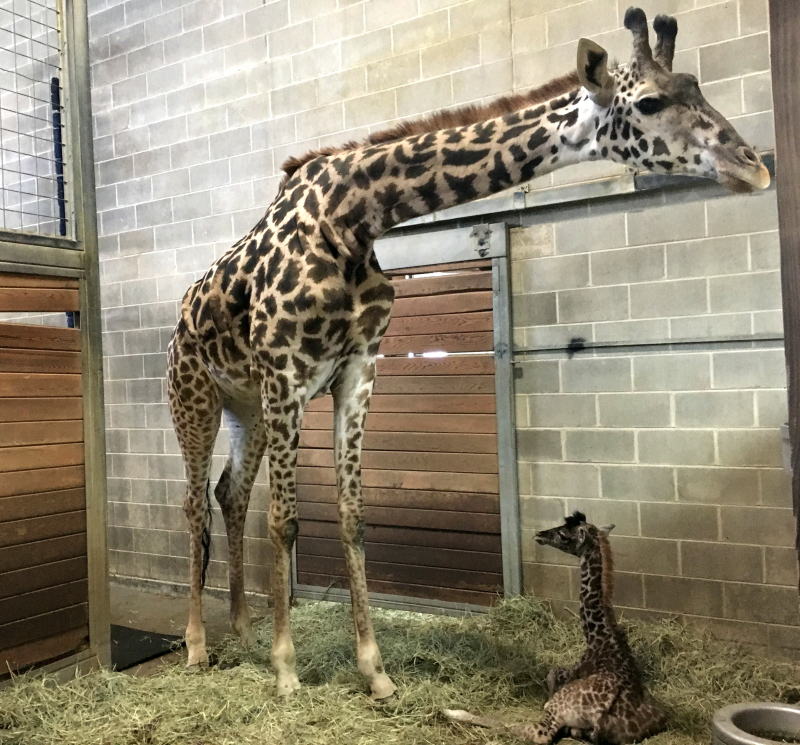 KCZoo Mom and Baby Giraffe