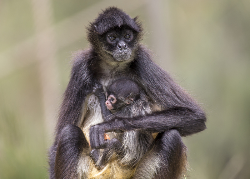 1 - Spider Monkey baby born 21 Dec 2017