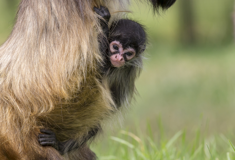 2 - Spider Monkey baby born 21 Dec 2017