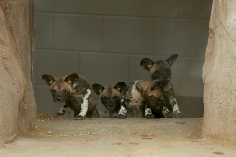1_AWD Puppies_Jan 18_1