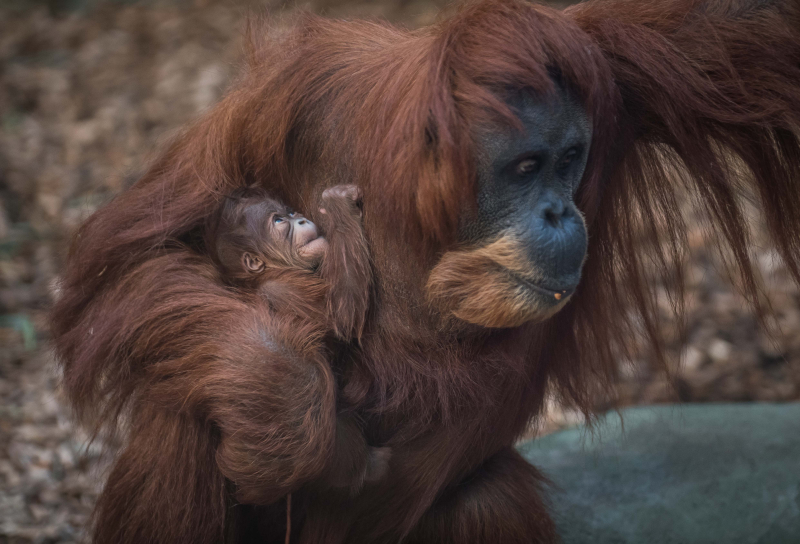 4_Chester Zoo's latest orangutan arrival has been named Kesuma by primate keepers (5)