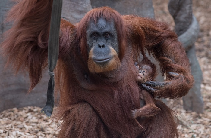 5_Chester Zoo's latest orangutan arrival has been named Kesuma by primate keepers (1)