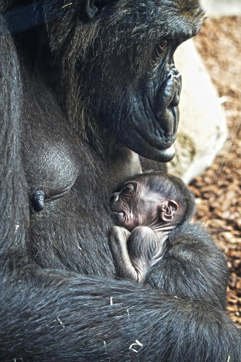 14 de marzo 2018 - La gorila Fossey y su bebé recién nacido - BIOPARC Valencia (8)-min
