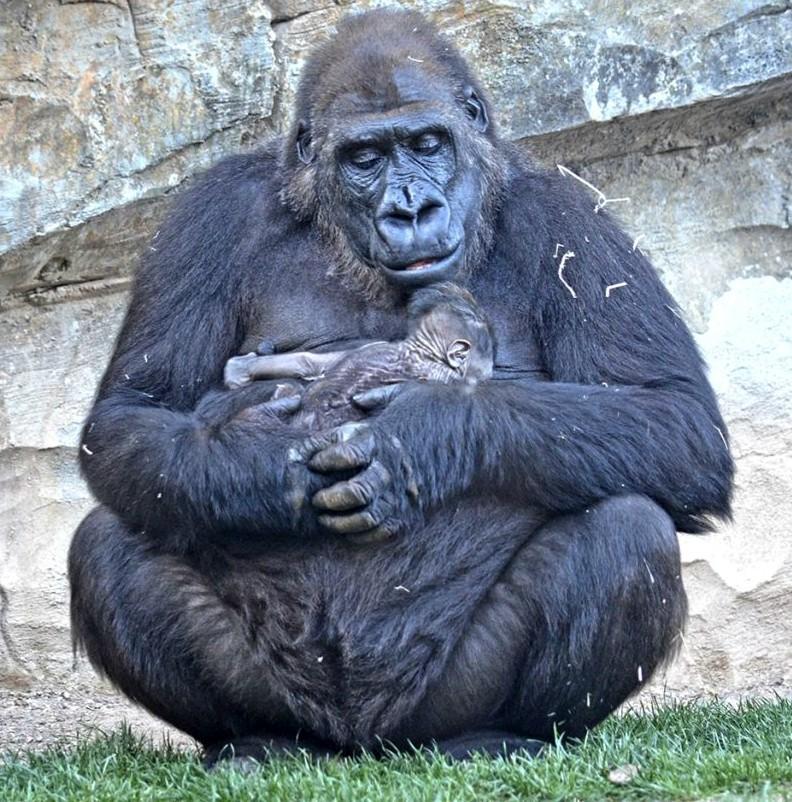 8-marzo-nace-bebe-gorila-en-BIOPARC-875x1024