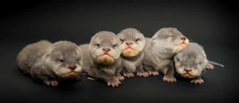 1_Asia Small Clawed Otter Pups 2614 - Grahm S. Jones  Columbus Zoo and Aquarium