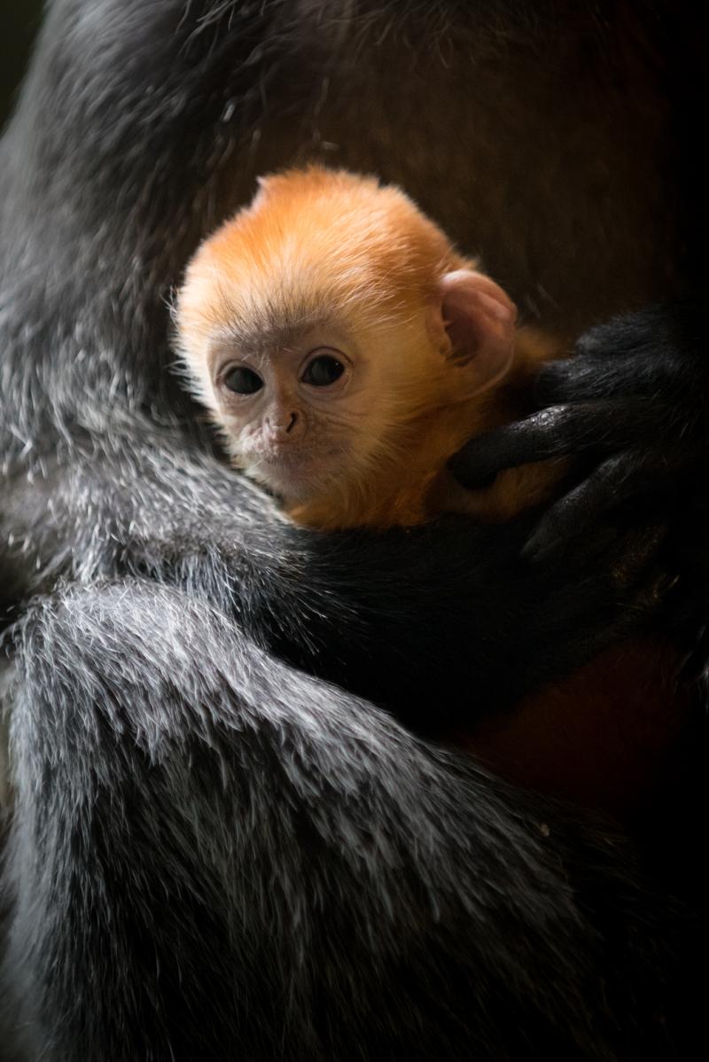 6_Langur Baby 2018 6568 - Grahm S. Jones  Columbus Zoo and Aquarium