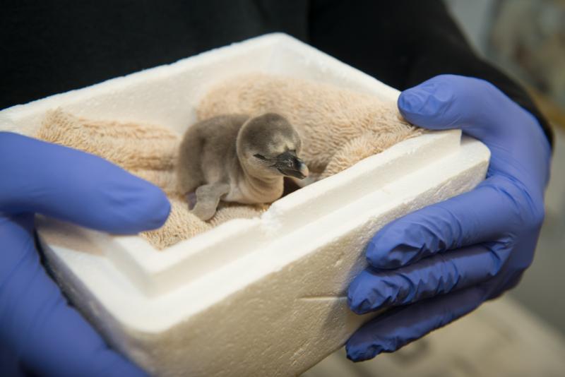 10_Penguin Chick 2245 - Grahm S. Jones  Columbus Zoo and Aquarium