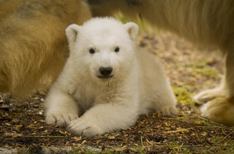 3_Polar_Bear_cub_JP_1