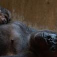 1_gorillas_calaya_and_moke_dsc01824