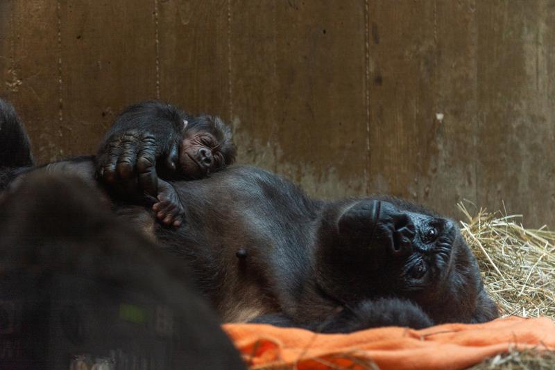 3_gorillas_calaya_and_moke_dsc01840