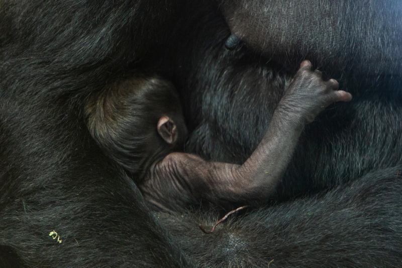 7_gorillas_calaya_and_moke_649a9476