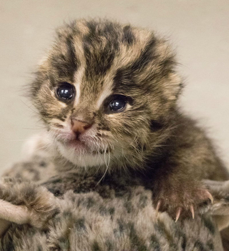 XxFB Fishing Cat Cub 3