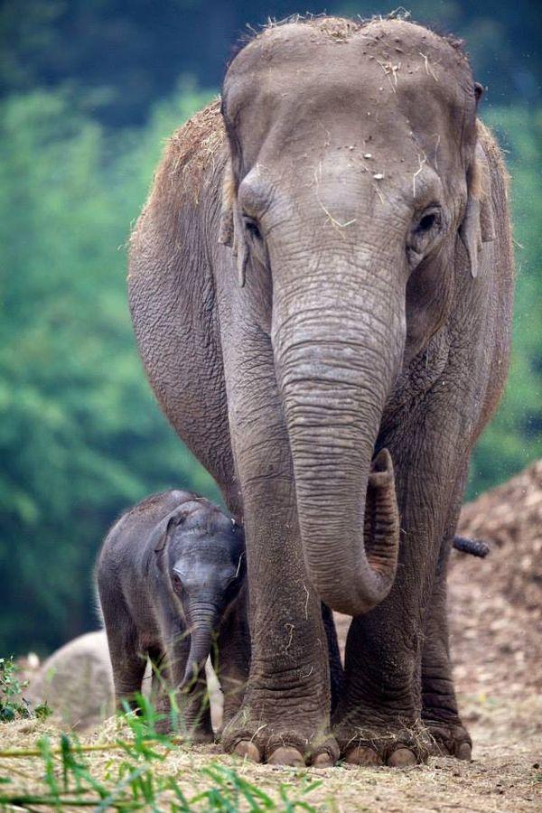 third elephant calf born at dublin zoo