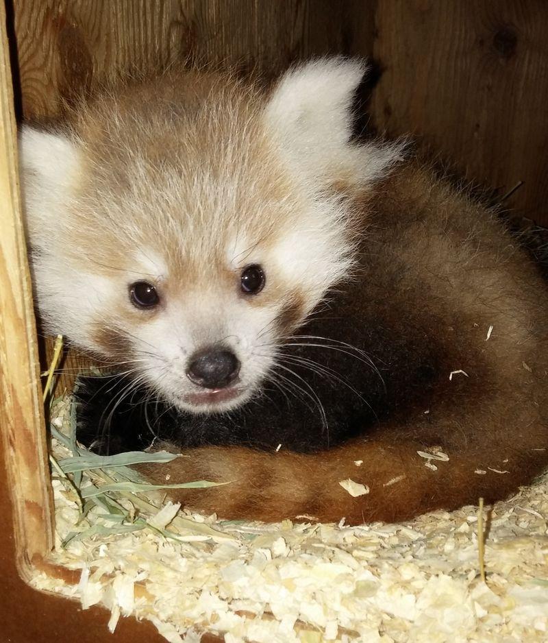 Panda cub (2)