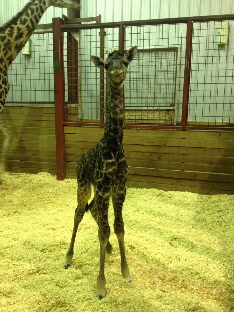 FranklinPark_GiraffeBaby_1