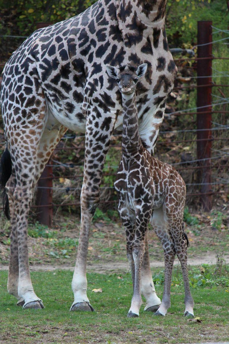FranklinPark_GiraffeBaby_9