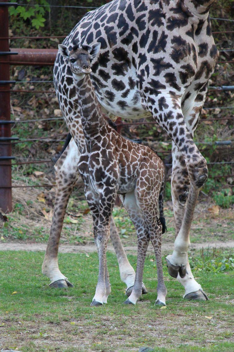 FranklinPark_GiraffeBaby_10