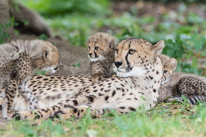 Geparden_jungtiere_ZOB6943