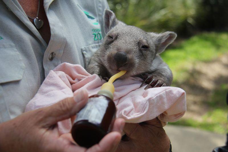 Chloe the Wombat (1)