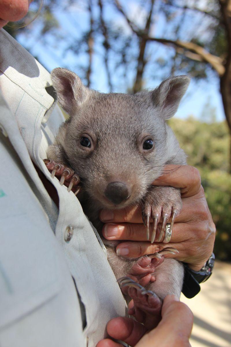 Chloe the Wombat (10)