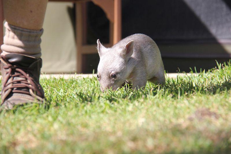 Chloe the Wombat (13)