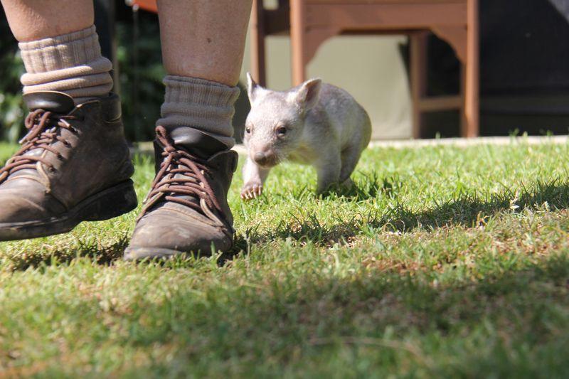 Chloe the Wombat (14)
