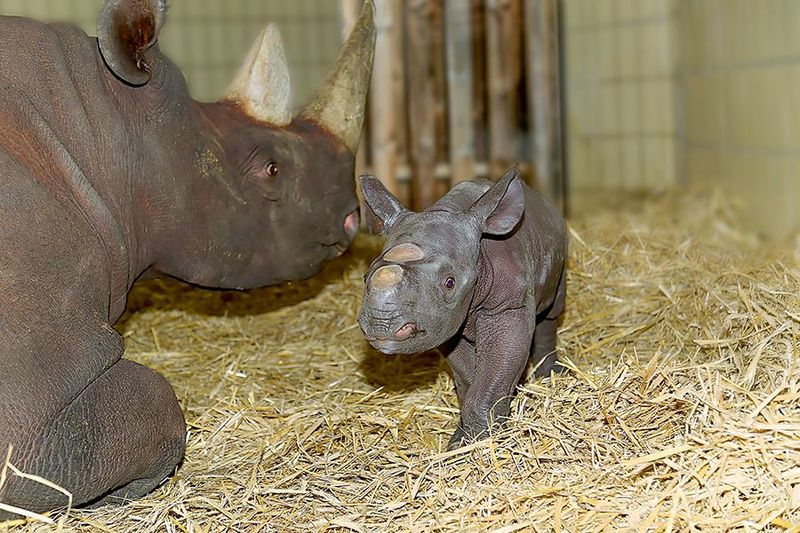 ZooBerlin_BlackRhino_4