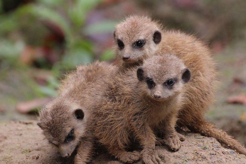 Meerkats_ZooOsnabruck_4