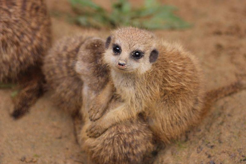 Meerkats_ZooOsnabruck_5