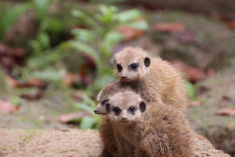 Meerkats_ZooOsnabruck_6
