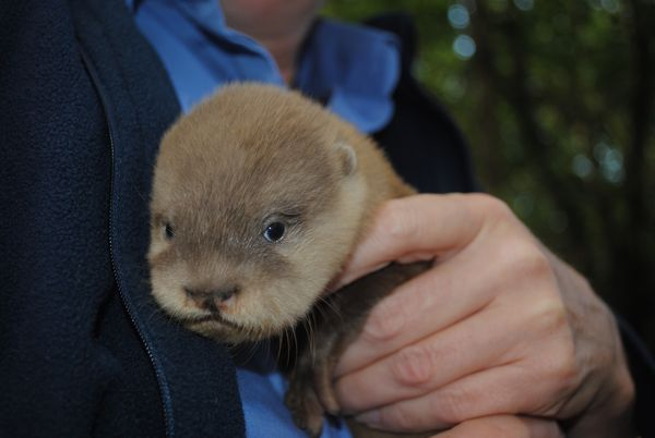 Otter-ly Adorable Arrivals at Newquay Zoo