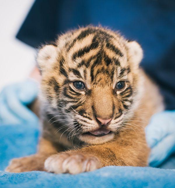 Help Name Three Sumatran Tiger Cubs