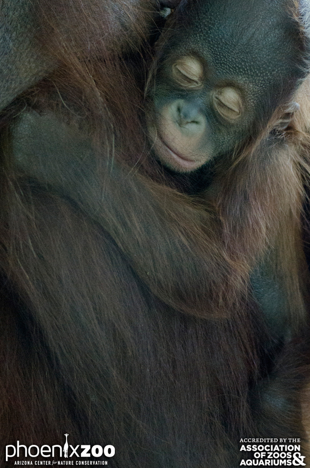 Phoenix-Zoo-Bornean-orangutan-baby-04-photo-by-Joseph-Becker