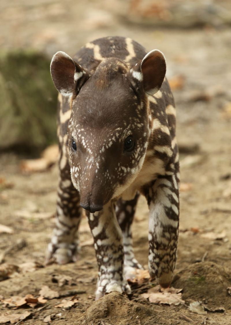 1_Baby Tapir Lolita at Cotswold Wildlife Park