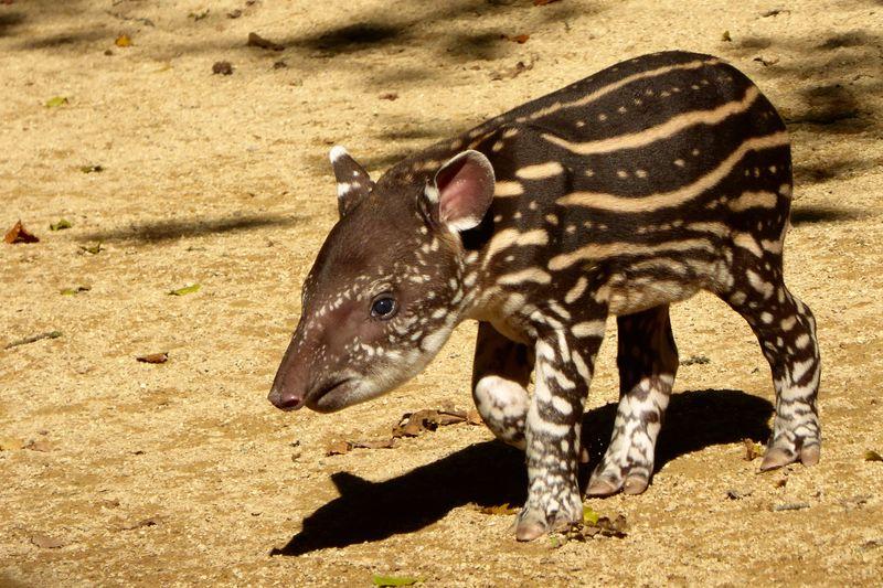 7_Baby Tapir Lolita at Cotswold Wildlife Park (1)