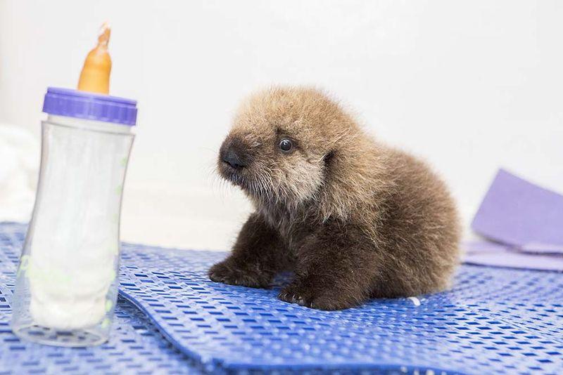 Shedd_Sea Otter Pup_13