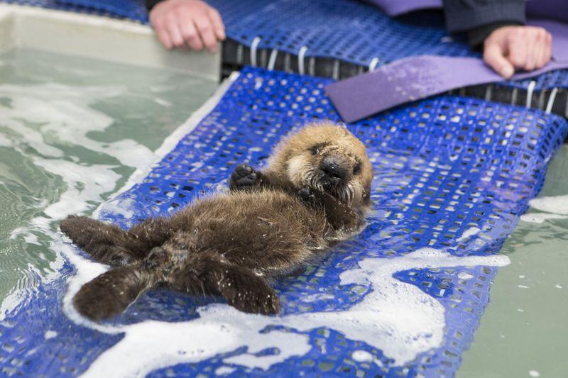 Shedd_Sea Otter Pup_2